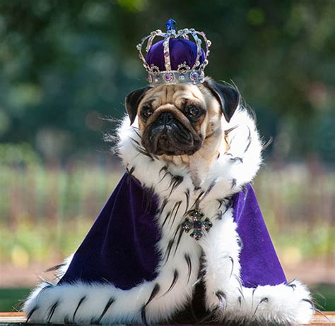 history of pugs and lions king pug disneyvillainroleplay wiki fandom powered by wikia
