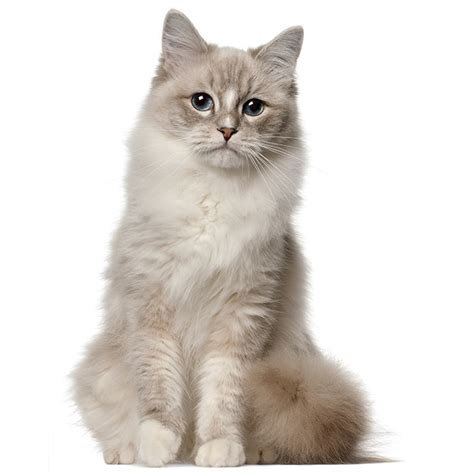 x ragdoll cat ragdoll cat ragdoll cat pet insurance cat breed info
