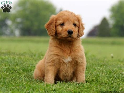 irish setter golden doodle 11 best irish doodle and golden irish images on pinterest