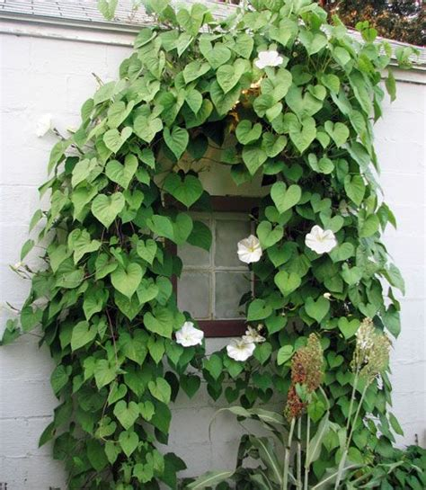 25 best ideas about climbing flowering vines on pinterest