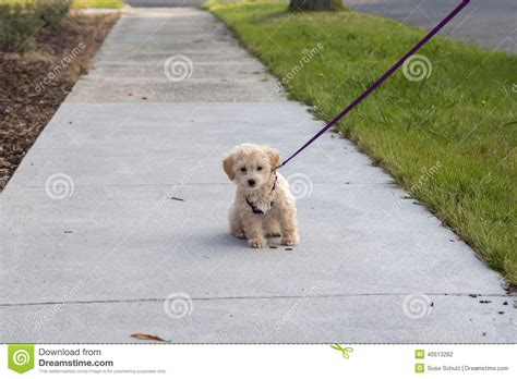 walking puppy on leash puppy on walk stock photo image of outing 40513262