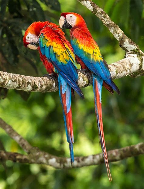 beautiful birds phots scarlet macaw by zoltan szabo on 500px parrots parrot birds and