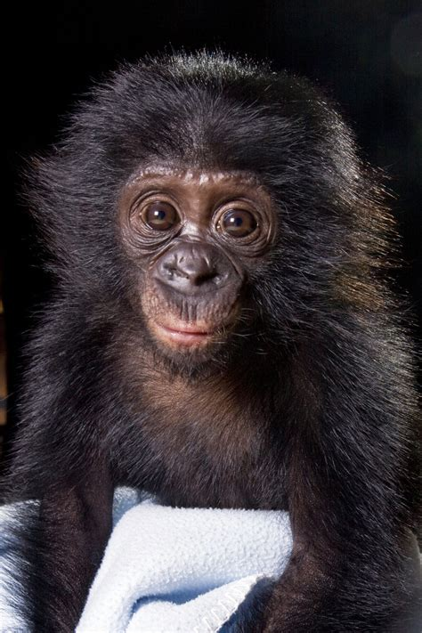 182 best images about Bonobos on Pinterest   Africa ...