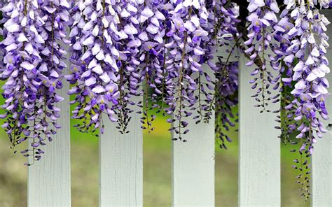 high climbers wisteria growing guide quiet corner