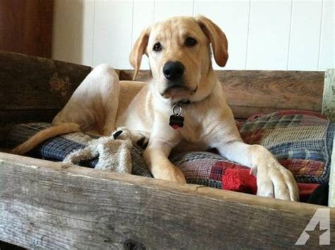 yellow lab puppies for adoption american yellow labrador retriever for adoption 1 year for sale in baileyton