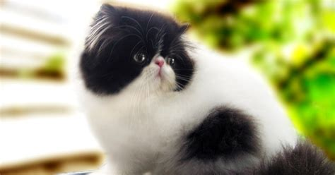 Sisir Logam Untuk Kucing memelihara kucing kucing merawat kucing dan kucing anggora