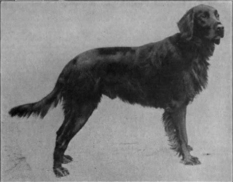 setter dog black the setter