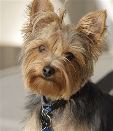 yorkie grown pictures welcome to annabel s canine where the place goes to