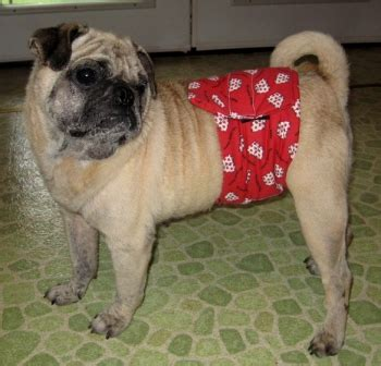 belly bands for dogs belly bands and diapers for dogs what is their true purpose new owners