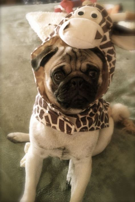 diabetic pug 180 best images about pug friendzy on posts pug and pug