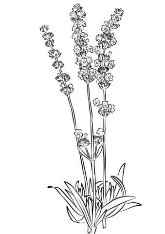 lavender flower coloring page lavender flower picture coloring pages lavender flower