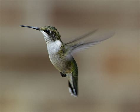 hummingbird facts starved rock state parkstarved rock