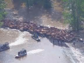 Flooding In Tx Cowboys Save 200 Cattle From Alligator Infested