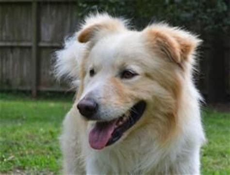 pyrenees golden retriever mix golden retriever great pyrenees mix animals