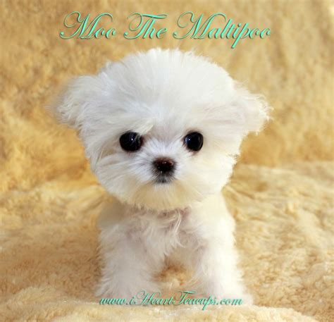 maltipoo puppies micro teacup maltipoo puppy moo platinum luxury puppy for sale in ca