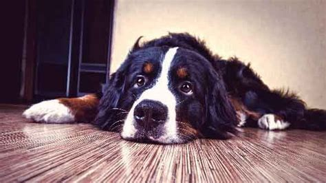 thyroid issues in dogs hyperthyroid cat weight loss newsmindgo
