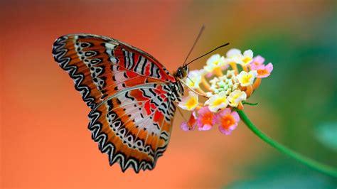 imagenes de mariposas posadas en flores mariposas gu 237 as de especies im 225 genes y recursos