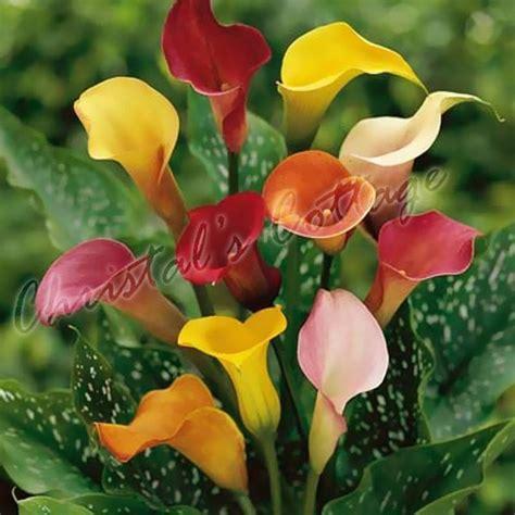 1 2 mixed colour calla lily lilies perennial gardening