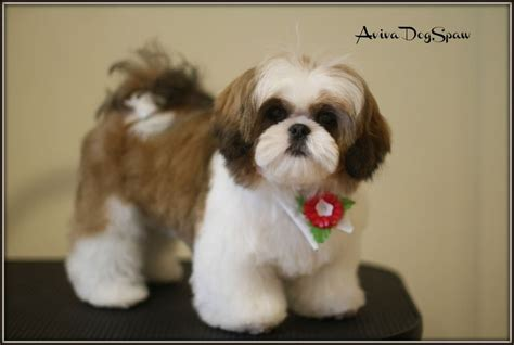 shih tzu ewok haircuts dog shih tzu puppy haircuts cats and dogs picture