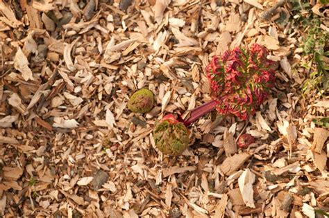 rhabarber pflanzen wann rhabarber ernten rhabarber saison so ernten und verwerten