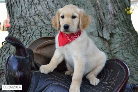free golden retriever puppies ohio golden retrievers for sale alberta breeds picture