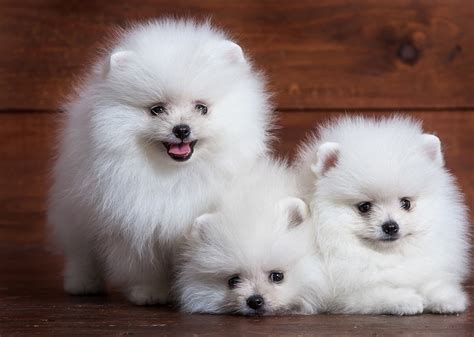 pomeranian costs pomeranian puppies for sale price where to buy pomeranian puppies