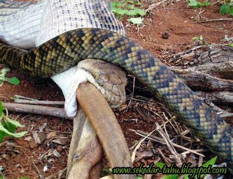 phudhedhien blogs foto detik detik  kangguru dimakan ular