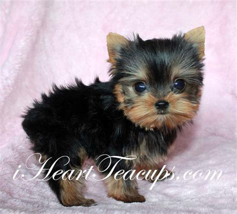 a baby yorkie baby yorkie teacup www pixshark images galleries with a bite