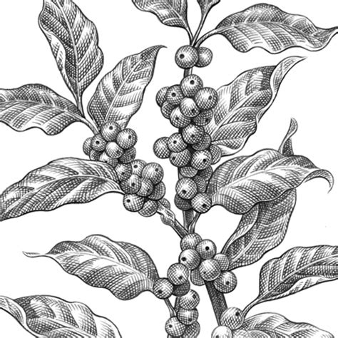 keith witmer pencil food beverage coffee plant