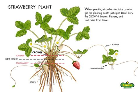 Jual Bibit Strawberry Sweet growing strawberries bonnie plants