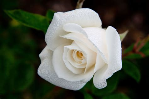 White Roses by Dew Drops On White Roses Www Pixshark Images