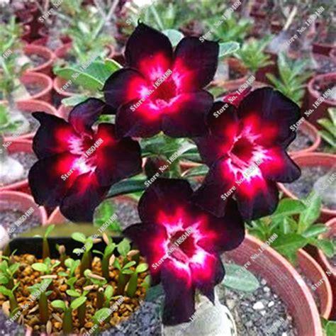 imagenes raras de rosas 2 pcs original preto rosa do deserto sementes de flores
