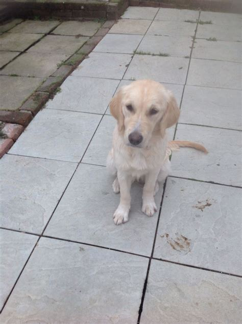 golden retriever puppies swansea golden retriever puppy swansea swansea pets4homes