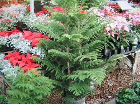 Norfolk pine trees are native to norfolk island in the south pacific