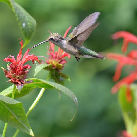 best 28 how does a hummingbird fly south tiny