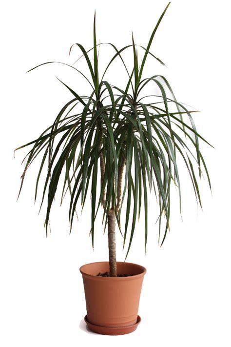 dracaena marginata madagascar dragon tree dracaena marginata my house plants