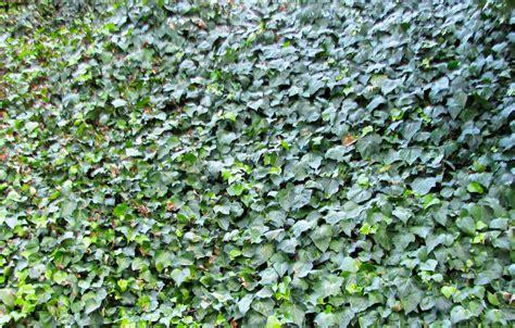 ground cover ivy northwest lawn and landscape toledo ohio