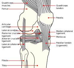 diagram of knee ligaments anterior cruciate ligament