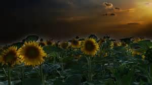 sunflower field wallpaper 265822 sunflower field wallpaper 642732