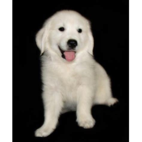 golden retriever breeders in mi golden pups golden retriever breeder in howard city michigan