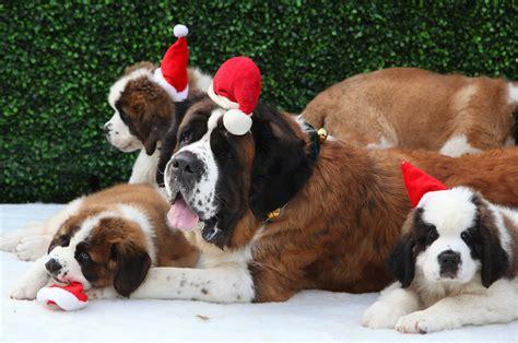 beethoven puppies st bernard beethoven breeds picture