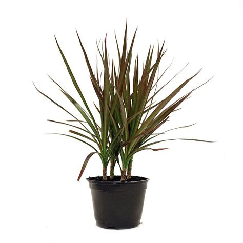 Living Room Gray by Delray Plants Dracaena Marginata In 6 In Pot 6marg The