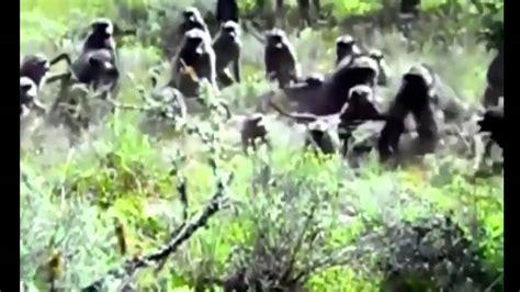 biggest animals fight  anaconda  baboon  gorilla youtube