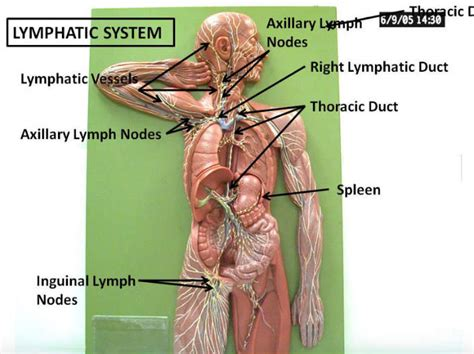Lymph Node Detox Machine by Clean Your S Drains 11 Ways To Detoxify Your