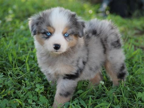 miniature aussie puppies for sale miniature australian shepherd puppies for sale alpharetta ga patch