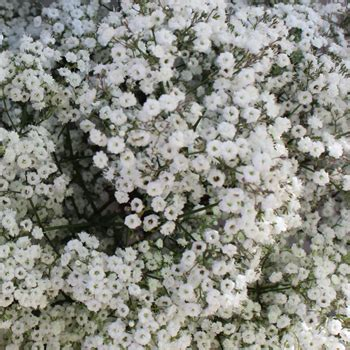 million bulk baby s breath flower