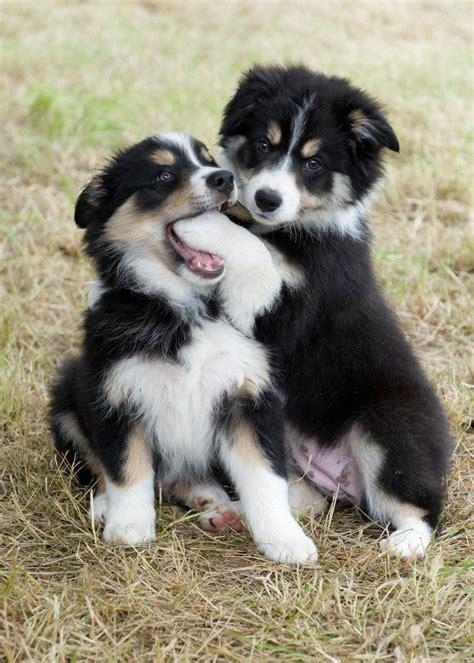 aussie border collie puppies 25 best ideas about border collies on border collie border collie