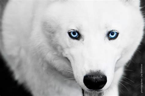 white dogs with blue blue eyed white