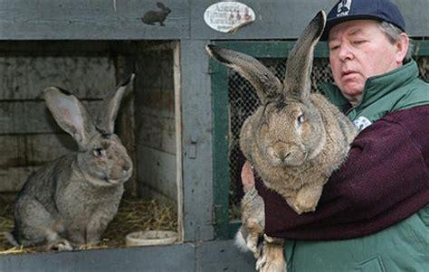 wann sind zwergkaninchen ausgewachsen kaninchen vs hase