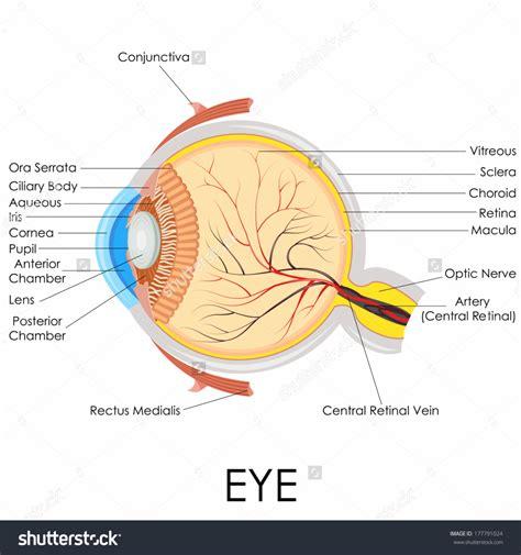 diagram of eye anatomy human eyeball anatomy human anatomy diagram